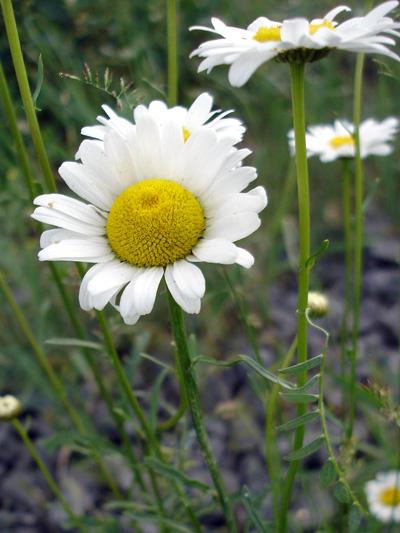 Marguerite blanche (Leucanthemum vulgare) Plantes en fleur