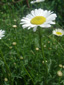 Oxeye daisy : 2- Flowering plant