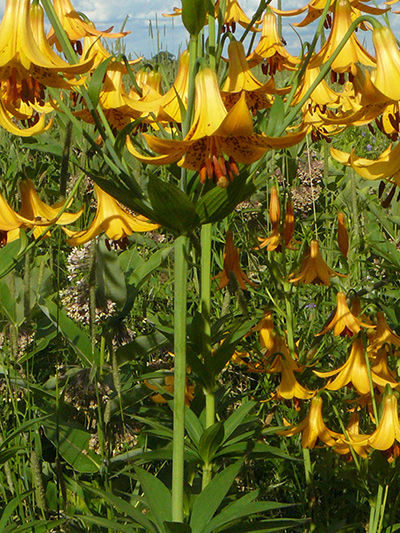 Canada lily (Lilium canadense) : Flowering plants