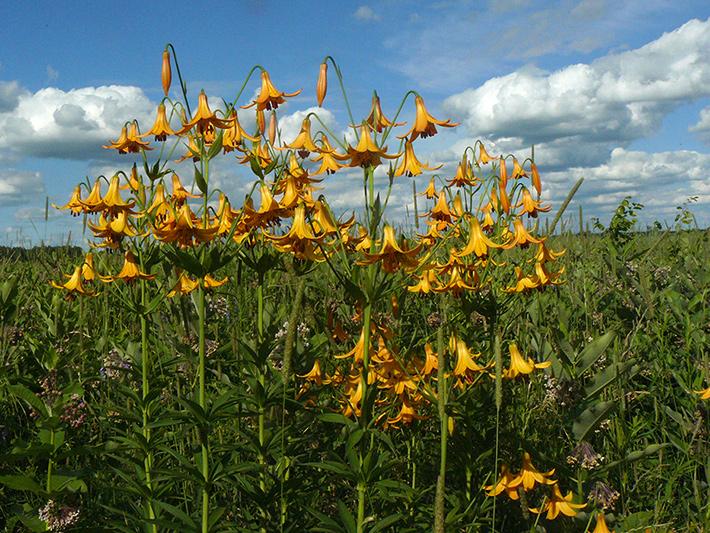 Lis du canada (Lilium canadense) Colonie