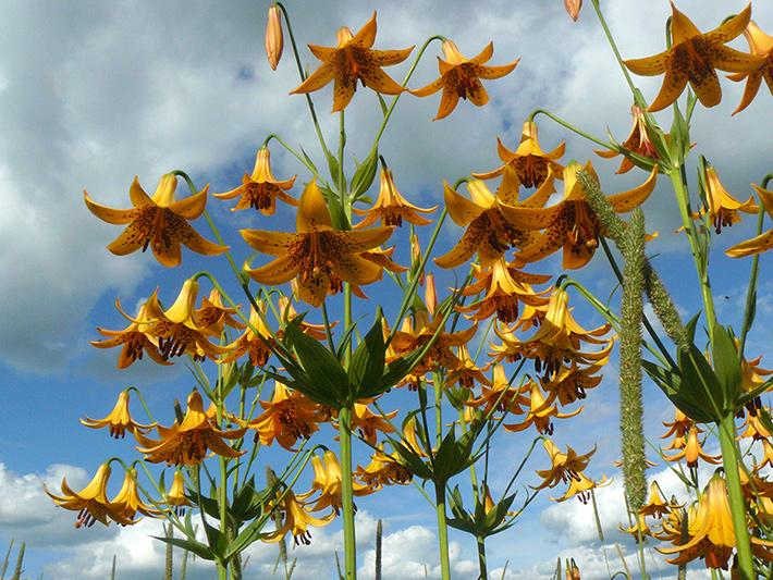 Canada lily (Lilium canadense) : Colony