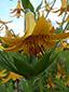 Lis du canada : 5- Fleur et verticille de feuilles