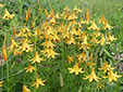 Canada lily : 6- Colony with flowers and buds