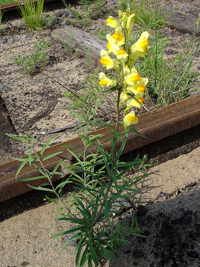 Butter-and-eggs (Linaria vulgaris) : Flowering plant