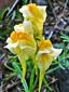 Linaire vulgaire : 1- Fleurs