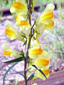 Butter-and-eggs : 2- Inflorescence
