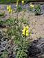 Linaire vulgaire : 3- Plantes en fleurs