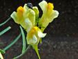 Linaire vulgaire : 4- Fleurs