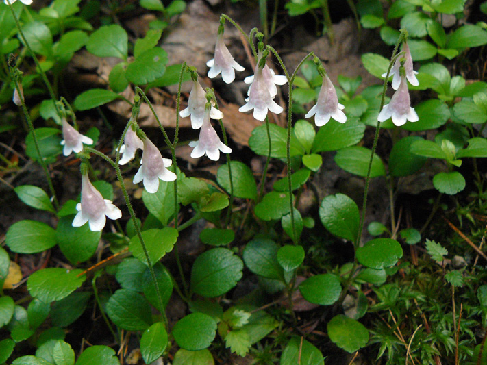 Twinflower (Linnaea borealis) : Flowering plants