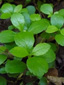 Twinflower : 3- Leaves