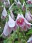 Linnée boréale : 4- Fleurs
