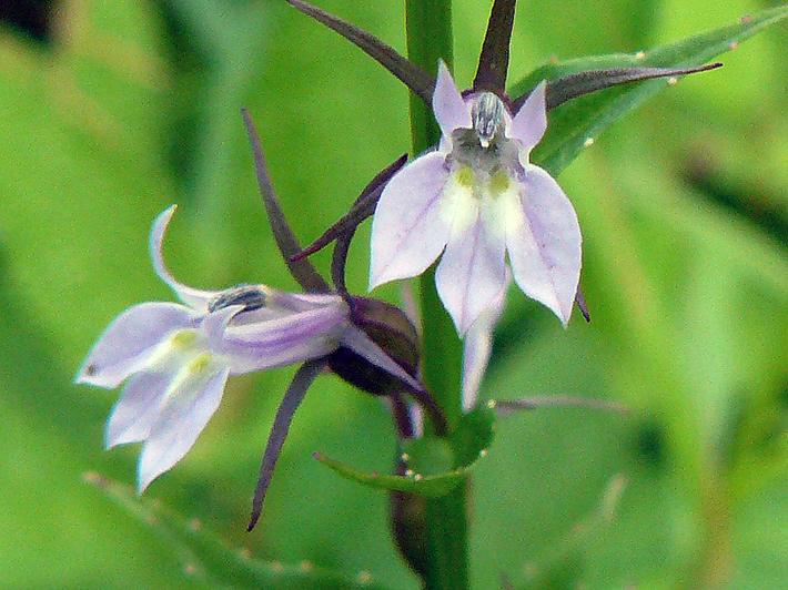 Indian tobacco (Lobelia inflata) : Flowers