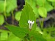 Lobélie gonflée : 4- Feuilles et fleur