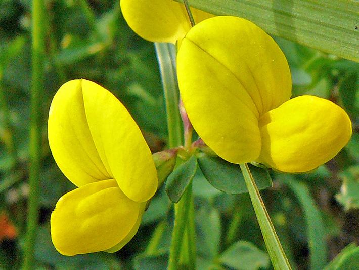 Garden bird's-foot trefoil (Lotus corniculatus) : Inflorescence