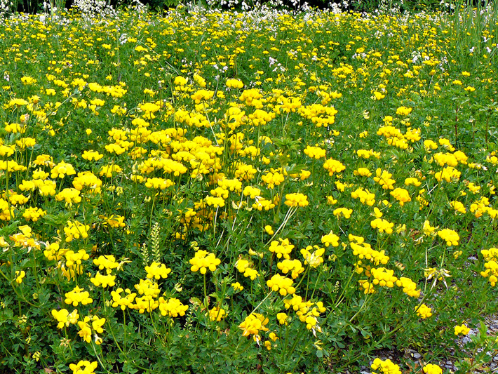 Garden bird's-foot trefoil (Lotus corniculatus) : Colony