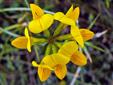 Lotier corniculé : 3- Inflorescence vue du dessus