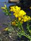Garden bird's-foot trefoil : 4- Flowering plants