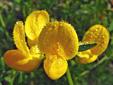 Lotier corniculé : 6- Inflorescence