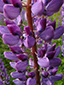 Large-leaved Lupine : 2- Flowers