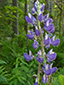 Large-leaved Lupine : 4- Flowers