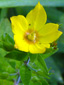 Garden yellow  loosestrife : 1- Flower