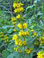 Garden yellow  loosestrife : 2- Flowering plant