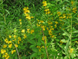Garden yellow  loosestrife : 3- Colony