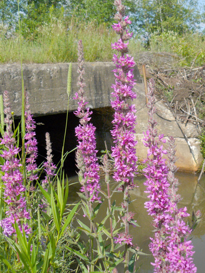 Purple loosestrife (Lythrum salicaria) : Flowering plants