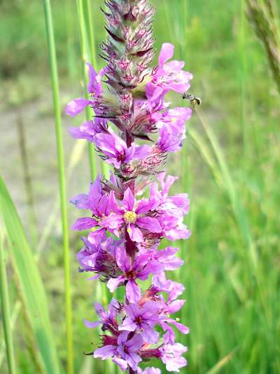 Purple loosestrife (Lythrum salicaria) : Inflorescence