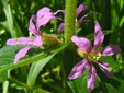 Purple loosestrife : 4- Flowers