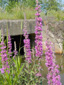 Purple loosestrife : 5- Flowering plants