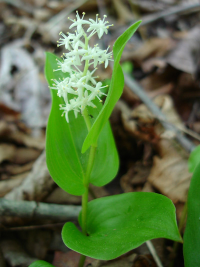 Wild lily-of-the-valley (Maianthemum canadense) : Flowering plant