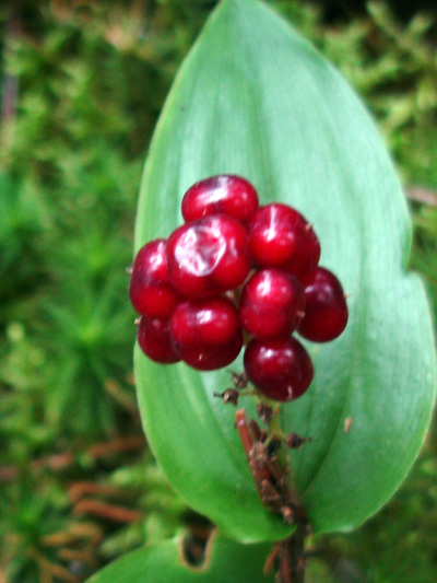 Maiantheme du canada (Maianthemum canadense) Fruits (baies)