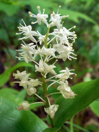 Maiantheme du canada (Maianthemum canadense) Inflorescence