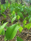 Wild lily-of-the-valley : 2- Young plants