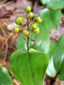 Wild lily-of-the-valley : 9- Young fruits (berries)