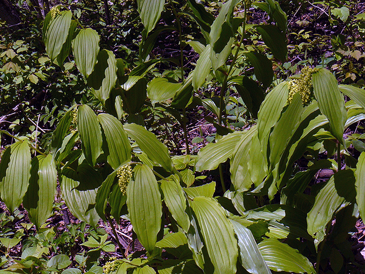 Large false Solomon's seal (Maianthemum racemosum) : Plants with bud inflorescence