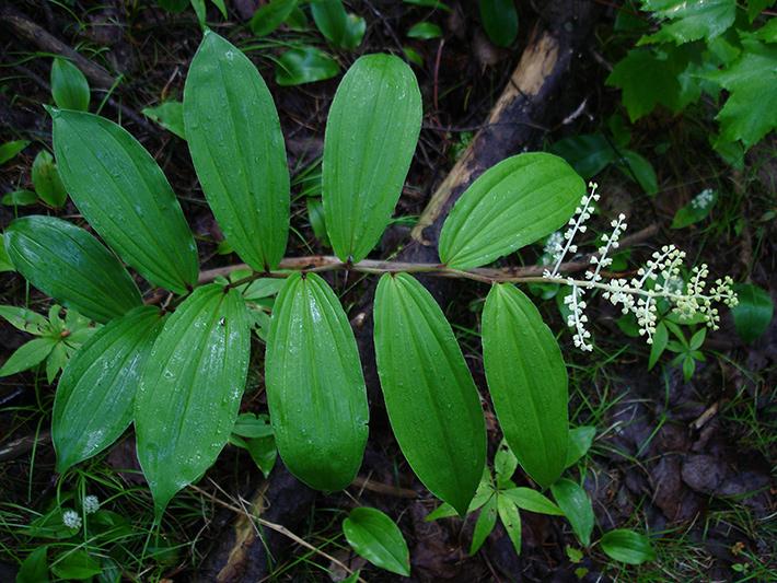 Maiantheme a grappes (Maianthemum racemosum) Plante avec jeunes fleurs