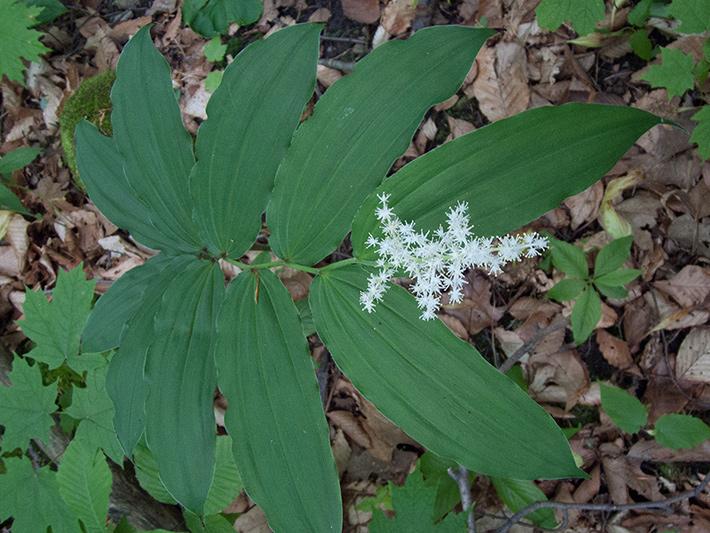Maiantheme a grappes (Maianthemum racemosum) Plante en fleurs