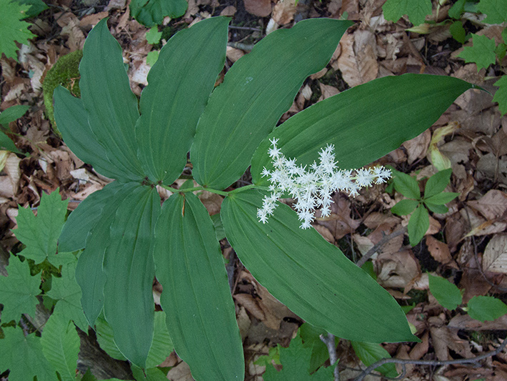 Large false Solomon's seal (Maianthemum racemosum) : Flowering plant