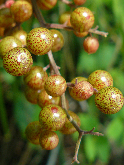 Maiantheme a grappes (Maianthemum racemosum) Fruits immatures