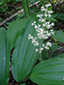 Large false Solomon's seal : 1- Flowering plant