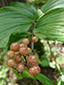 Large false Solomon's seal : 10- Plant with young fruits