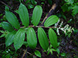 Large false Solomon's seal : 5- Plant with young flowers