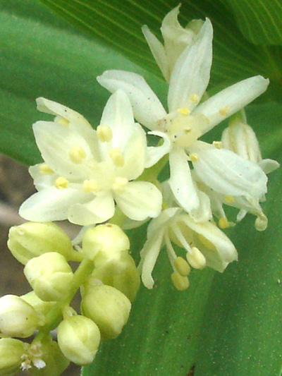 Star-flowered false Solomon's seal (Maianthemum stellatum) : Inflorescence