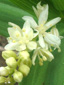 Star-flowered false Solomon's seal : 1- Inflorescence