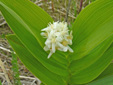 Star-flowered false Solomon's seal : 4- Inflorescence and leaves