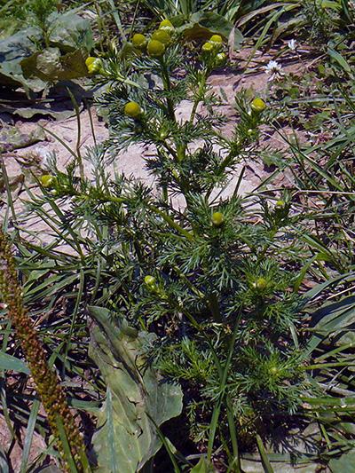Matricaire odorante (Matricaria discoidea) Plante en fleurs