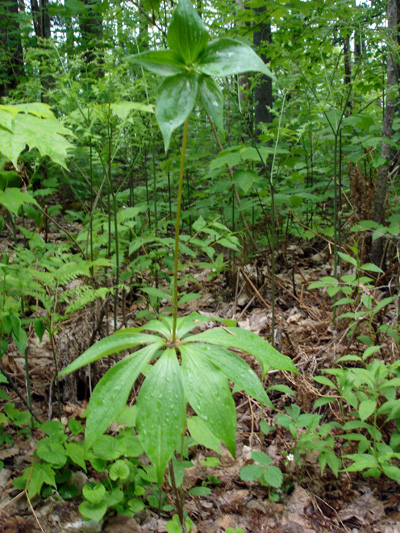 Indian cucumber-root (Medeola virginiana) : Plant