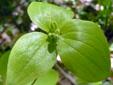 Médéole de virginie : 3- Boutons floraux